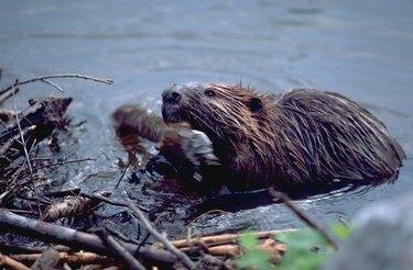 Beaver building a dam.