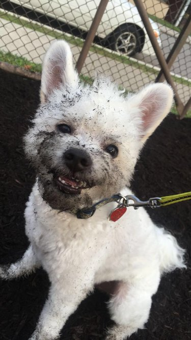 Dog with mud on its muzzle.
