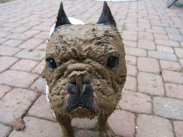 Dog with a mud covered face.