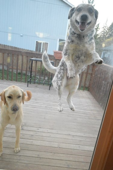 Dog in mid-jump outside a glass door.