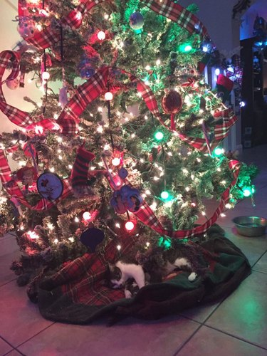 Cat Gives Birth Beneath Christmas Tree In Time For Holidays
