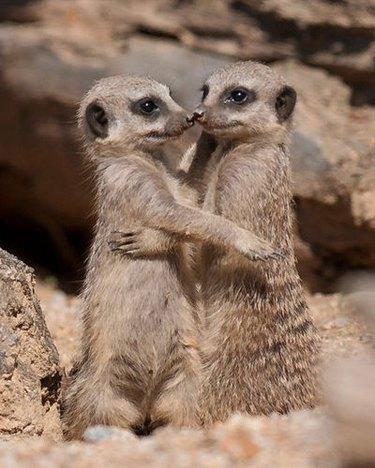 meerkats sitting