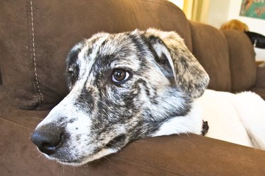 Close up of a white and black dog on a brown couch