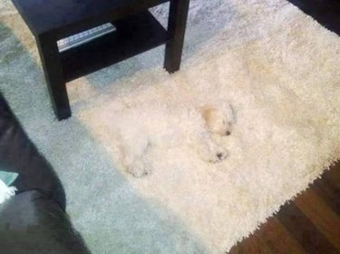 Fluffy white dog on fluffy white carpet.
