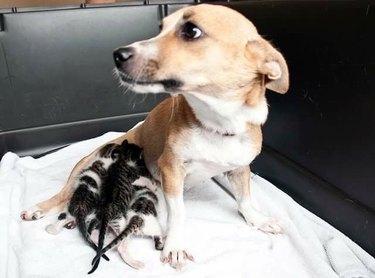 Dog nursing three kittens