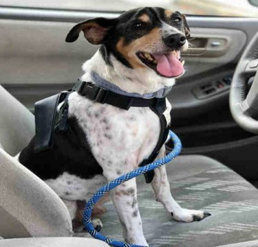 dog in car going home