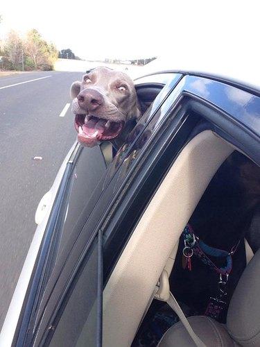 Dog in car making weird face.