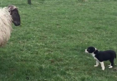 7-week-old border collie pup stares down defiant ram