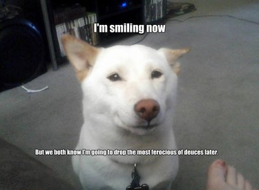 """Innocent-looking dog with caption: """"I'm smiling now... But we both know I'm going to drop the most ferocious of deuces later."""""""