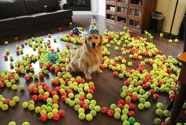Dog wearing birthday hat surrounded by several hundred tennis balls.