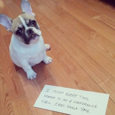 """French bulldog with dog shaming sign: """"I poop every time Mommy is on a conference call. Every. Single. Time."""""""