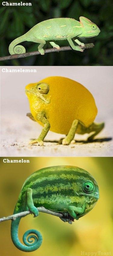 A chameleon, a chamelemon, and a chamelon.