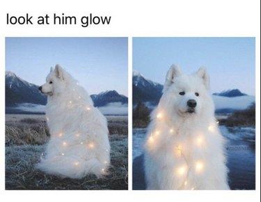 Samoyed wearing fairy lights.