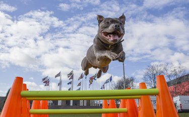 The East Anglian Staffordshire Bull Terrier Display Team help launch Crufts 2017