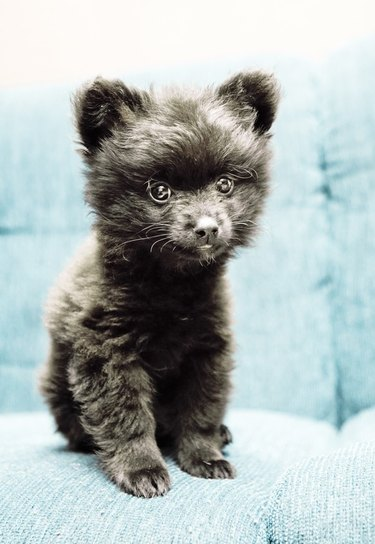 Puppy that looks like a bear cub