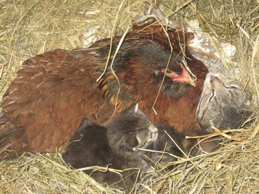 Broody Hen Tries To Mom Cute Litter Of Kittens