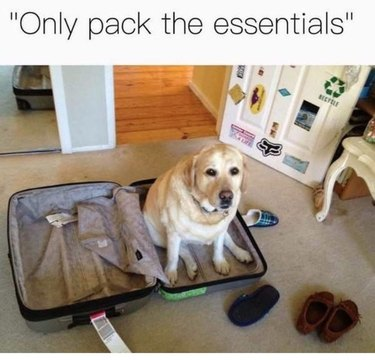 Dog sitting in suitcase.