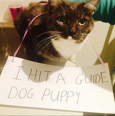 """Cat wearing sign that says """"I hit a guide dog puppy"""""""