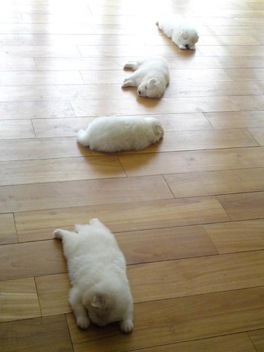 Four chubby puppies in a row