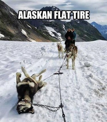 Sled dog team with one dog lying down. Caption: Alaskan flat tire