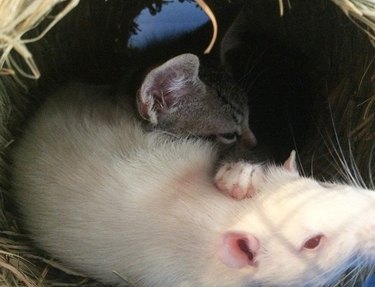 These Rats and Cats Are Defying Nature and Becoming Best Friends