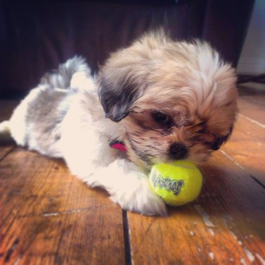 Very small dog with miniature tennis ball.