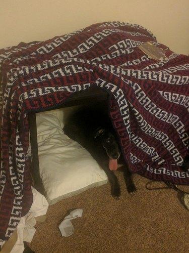 Dog in blanket fort.