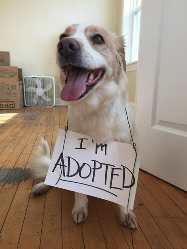 Dog wearing sign that says I'm Adopted