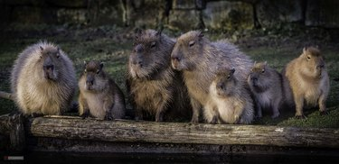 Capybaras lined up on a log.