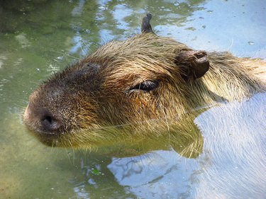 Capybara partially underwater.