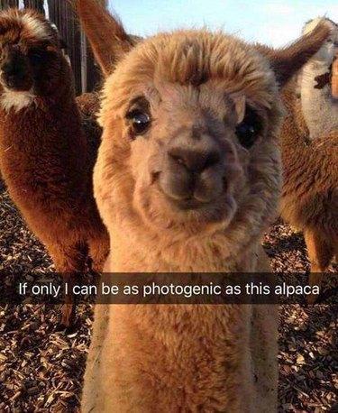Cute alpaca smiling