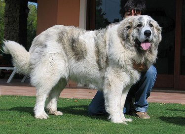 Female Pyrenean Mastiff