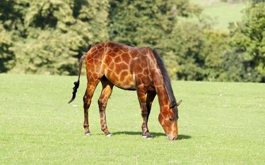 Horse dressed as giraffe.