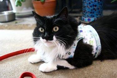 cat wearing homemade harness vest