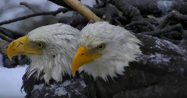 Eagles huddle over eggs during winter storm Stella