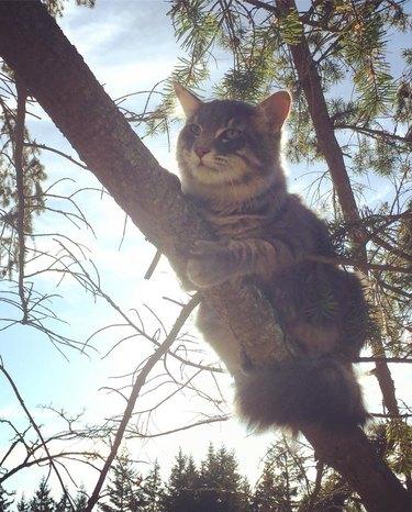 Striped cat in a pine tree