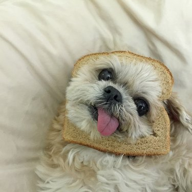 Marnie the dog with her face in a slice of bread
