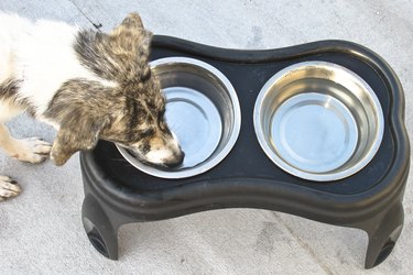 A white and black dog drinking from a water bowl, above shot