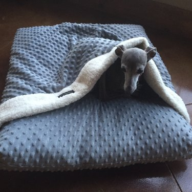 dog in burrowing bed