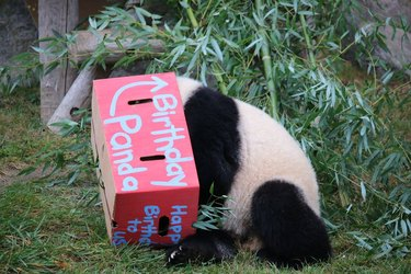Pandas are as clumsy as they are cute