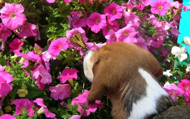 Dog sniffing butterfly perched on flower.