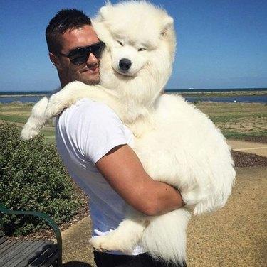 Fluffy white samoyed hugs human dad