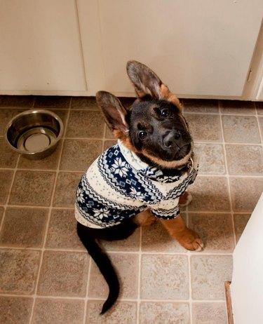 German shepherd puppy in winter sweater.