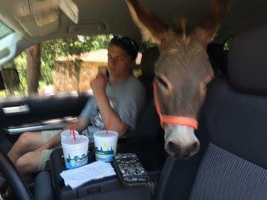 donkey in car