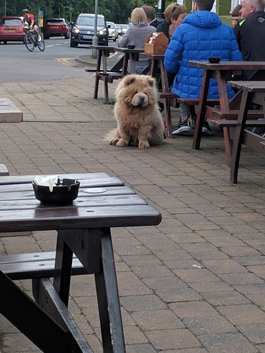 Bear-like dog sitting next to owner at picnic table