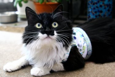 A fluffy black and white cat wearing. a homemade harness.
