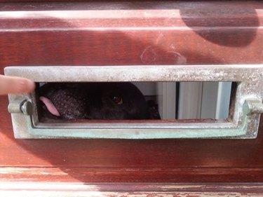 Dog licks finger through mail slot.