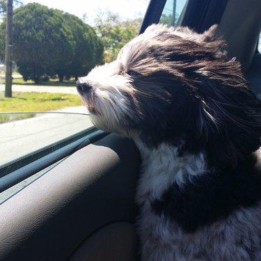 Dog in car looking regal.