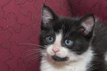 Close up of a black and white kitten