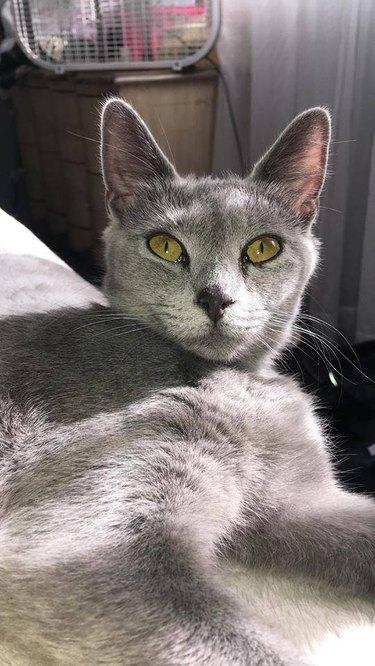 gray kitty green eyes